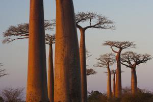 Baobab Alley, Madagascar by Art Wolfe