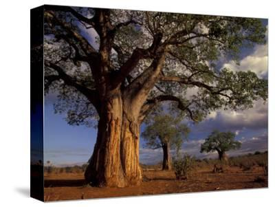 Baobab Trees, Tarangire National Park, Tanzania