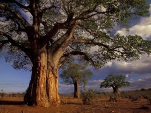 Baobab Trees, Tarangire National Park, Tanzania by Art Wolfe