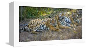 Bengal tigers, Bandhavgarh National Park, India by Art Wolfe