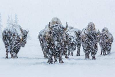 Bison in Yellowstonre National Park