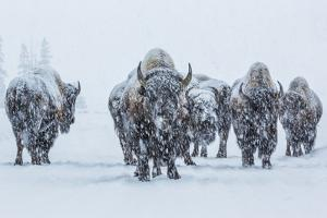 Bison in Yellowstonre National Park by Art Wolfe