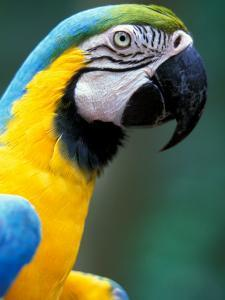 Blue and Yellow Macaw, Iguacu National Park, Bolivia by Art Wolfe