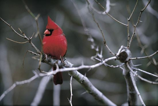 art-wolfe-cardinal