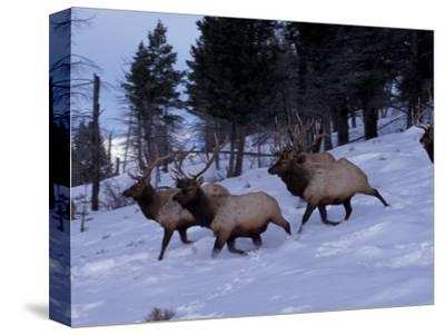 Elk or Wapiti, Yellowstone National Park, Wyoming, USA