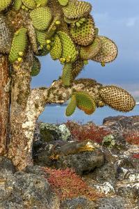 Galapagos Islands, Ecuador, Galapagos land iguana by Art Wolfe