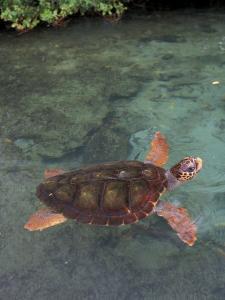 Green Sea Turtle, Bocas del Toro Islands, Panama by Art Wolfe