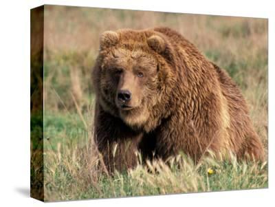 Grizzly or Brown Bear, Kodiak Island, Alaska, USA