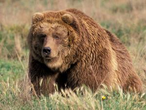 Grizzly or Brown Bear, Kodiak Island, Alaska, USA by Art Wolfe