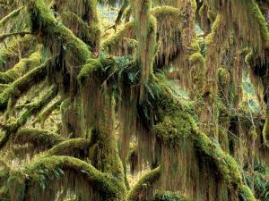 Hoh Rainforest, Olympic National Park, Washington, USA by Art Wolfe