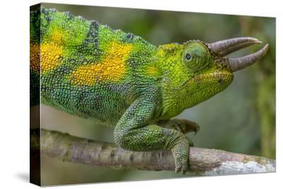 Jackson's three-horned chameleon, Bwindi Impenetrable National Park, Uganda