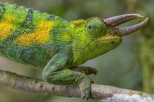 Jackson's three-horned chameleon, Bwindi Impenetrable National Park, Uganda by Art Wolfe