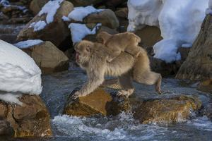 Japanese Macaque, Japanese Alps, Honshu Island, Japan by Art Wolfe
