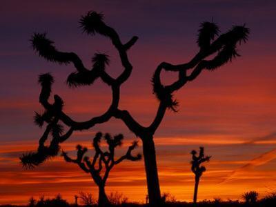 Joshua Trees at Sunrise, Mojave Desert, Joshua Tree National Monument, California, USA