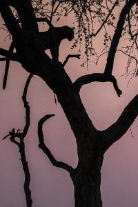 Leopard, Mashatu Reserve, Botswana by Art Wolfe