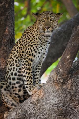 Leopard, Okavango Delta, Botswana by Art Wolfe