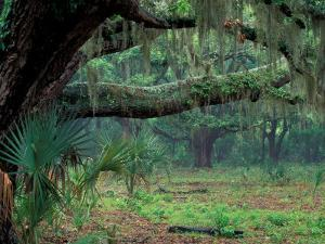 Live Oaks Covered in Spanish Moss and Ferns, Cumberland Island, Georgia, USA by Art Wolfe