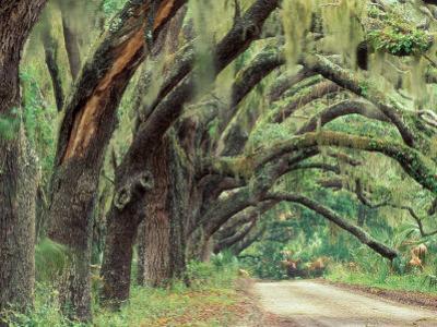 Live Oaks Covered in Spanish Moss and Ferns, Cumberland Island, Georgia, USA