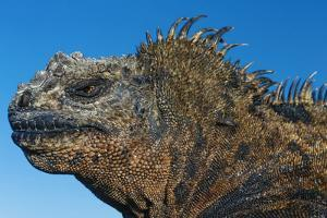 Marine Iguana, Galapagos Islands, Ecuador by Art Wolfe