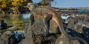 Marine Iguana, Galapagos Islands, Ecuador by Art Wolfe