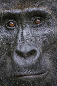 Mountain gorilla, Bwindi Impenetrable National Park, Uganda by Art Wolfe
