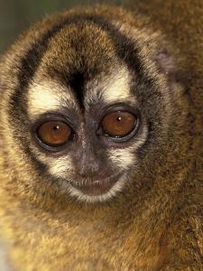 Owl Monkey, Panama by Art Wolfe