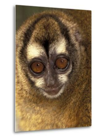 Owl Monkey, Panama