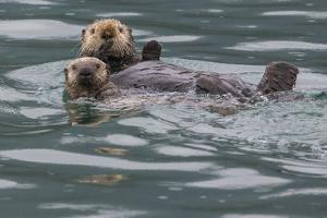 Sea otter and pup, Icy Strait, Alaska, USA by Art Wolfe