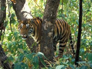 Tiger in Tree, India by Art Wolfe
