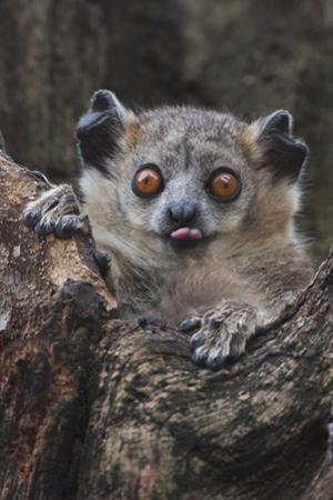 White-footed sportive lemur, Madagascar