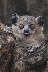 White-footed sportive lemur, Madagascar by Art Wolfe
