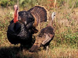 Wild Turkey Tom and Hen by Art Wolfe