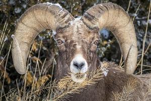 Bighorn Ram Portrait, Wyoming, USA by Art Wolfe Wolfe