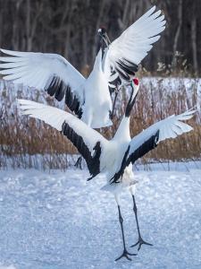 Red-crowned cranes, Hokkaido, Japan by Art Wolfe Wolfe