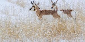 Two pronghorns in winter, Wyoming, USA by Art Wolfe Wolfe