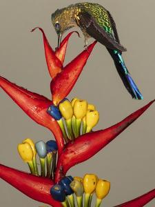 Violet-tailed sylph, Ecuador by Art Wolfe Wolfe