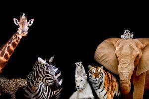A Group of Animals are Together on A Black Background with Text Area. Animals Range from an Elephan by Art9858