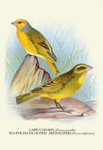 Cape Canary, Sulphur-Coloured Seed-Eater by Arthur G. Butler