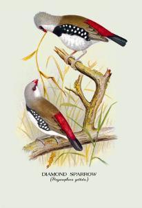 Diamond Sparrow by Arthur G. Butler