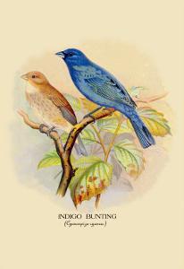 Indigo Bunting by Arthur G. Butler