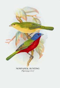 Nonpareil Bunting by Arthur G. Butler