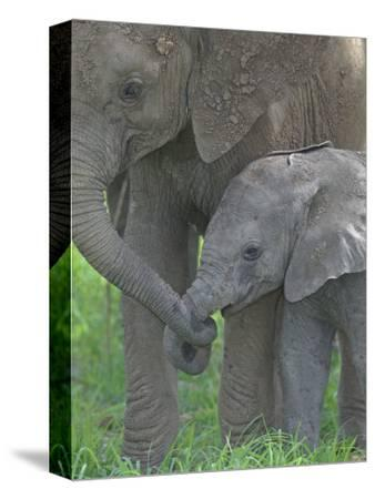 African Elephant Mother Holding its Baby's Trunk, Loxodonta Africana, East Africa