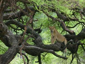 African Lioness Rests on Tree Branch, Tanzania by Arthur Morris
