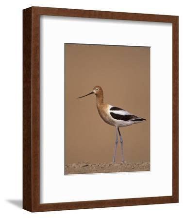 American Avocet Showing its Long Legs and Bill, Recurvirostra Americasna, USA