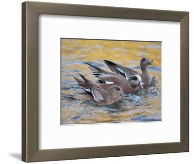 American Wigeons Courting, Bosque Del Apache National Wildlife Reserve, New Mexico, USA