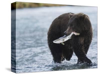 Brown Bear (Ursus Arctos) with Salmon (Salmonidae), Geographic Harbor, Katmai National Park