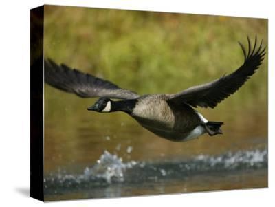 Canada Goose Taking Off, Branta Canadensis, North America