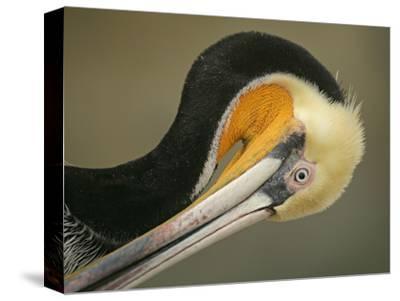 Close-up of Brown Pelican Preening, La Jolla, California, USA