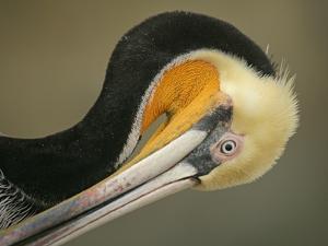 Close-up of Brown Pelican Preening, La Jolla, California, USA by Arthur Morris