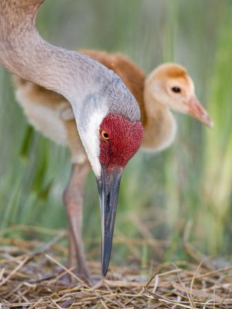 Close-up of Sandhill Crane and Chick at Nest, Indian Lake Estates, Florida, USA